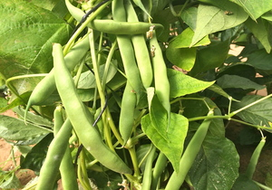 Beans, Heirloom Flat Podded, Organic