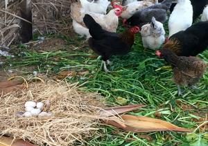 Buy Best Organic Eggs, free-range | Greenheart Organic Farms UAE