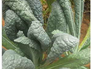 Buy Organic Kale Tuscan | Greenheart organic farms UAE