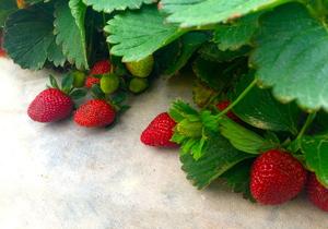 organic strawberry