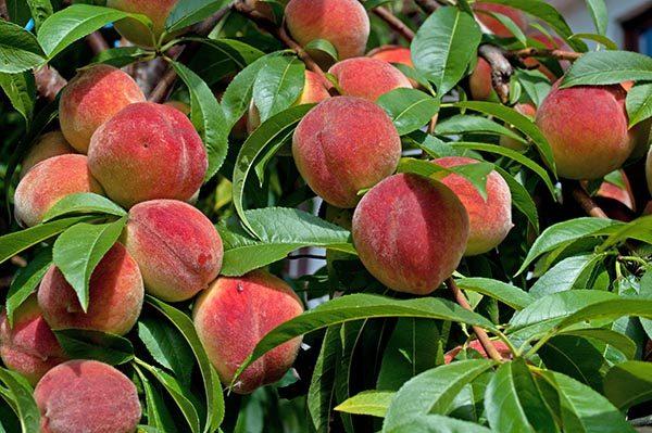 Peaches, Spain, organicbuy online