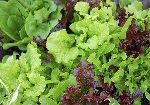 Lettuce, mixed, Organic