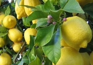 Lemon, Primofore Fino, Organic, Italy