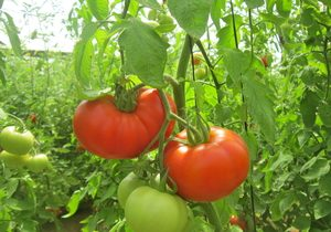 Tomatoes, Beef, Organic