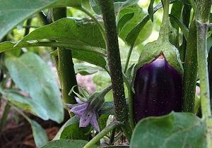 Eggplant (Aubergine), Organic