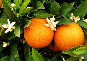 Oranges, Naval, Organic, Spain