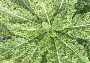 Kale, Curly, Organic