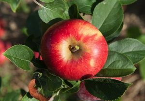 Apple, Heirloom 'Reine des Reinettes', France